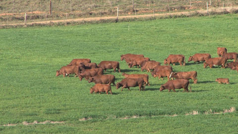 Big Group Of Cows, South Africa Stock Video Footage