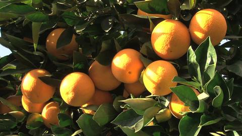 Lemons Factory, tree Footage