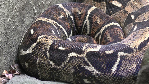 huge python Footage