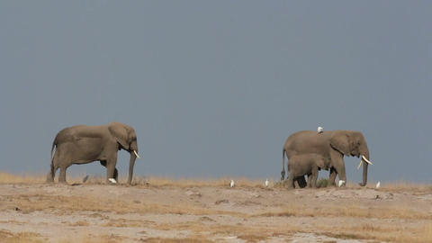 African elephants against blue sky Stock Video Footage