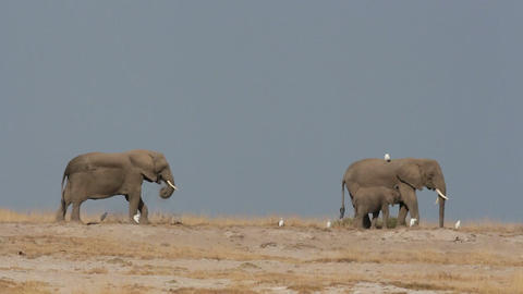 African elephants against blue sky Footage