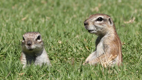 Alert ground squirrels Footage