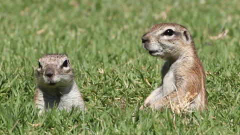 Alert ground squirrels Footage
