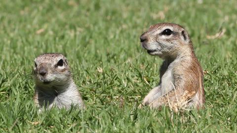 Alert ground squirrels Stock Video Footage
