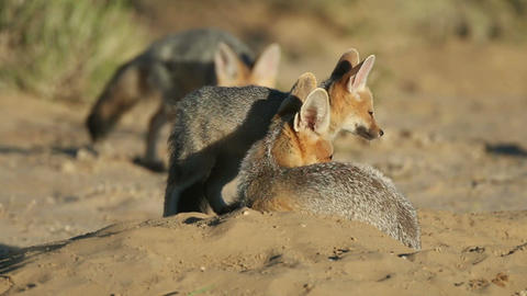 Cape foxes Stock Video Footage