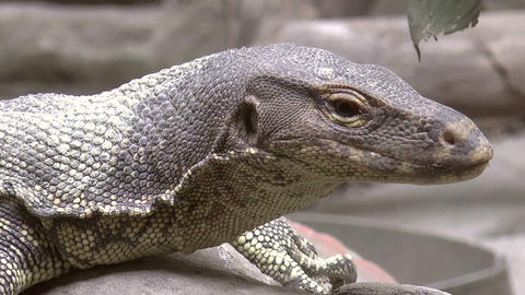monitor lizard close up Stock Video Footage