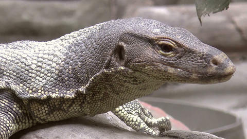 monitor lizard close up Footage