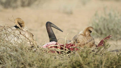 Feeding lions Footage