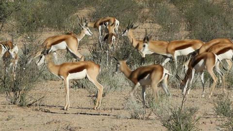 Feeding springbok antelopes 02 Footage