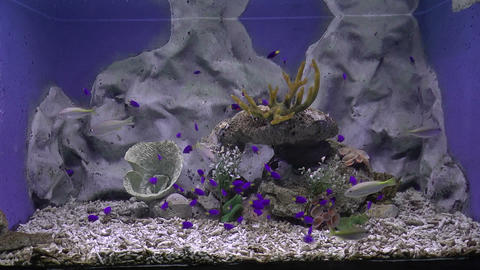 purple tang fish Stock Video Footage