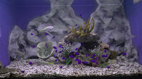 purple tang fish Footage