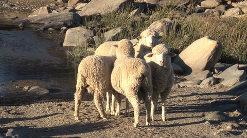 Sheeps at river Footage