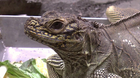 sailfin lizard close up Stock Video Footage