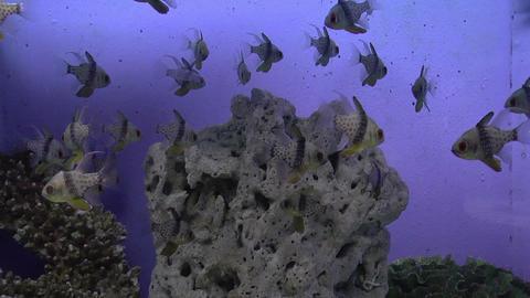 pajama cardinal fish Footage