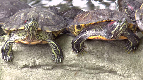 red eared slider turtle Footage
