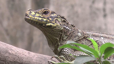 sailfin lizard Footage