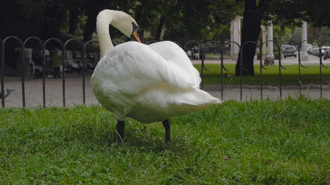 Swans nibbling grass and eats Stock Video Footage