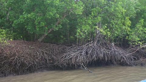 monkeys running roots of mangrove trees Footage