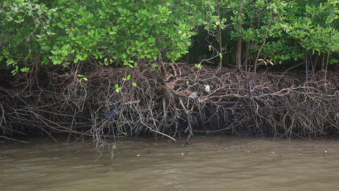 monkeys running roots of mangrove trees Stock Video Footage