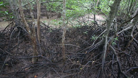 stream flows of the root system of mangroves Stock Video Footage