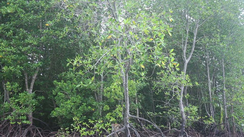 monkey climbs on the mangrove trees Stock Video Footage