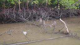 monkey grab food on the mangrove trees Stock Video Footage