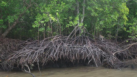 monkeys running roots of mangrove trees Footage
