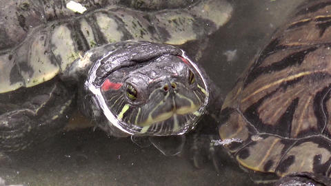 turtle closeup on pond Stock Video Footage