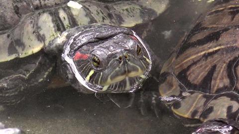 Turtle Closeup On Pond stock footage