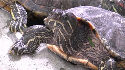 Turtle Closeup stock footage