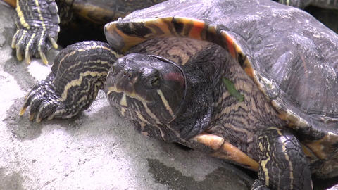 turtle closeup Stock Video Footage
