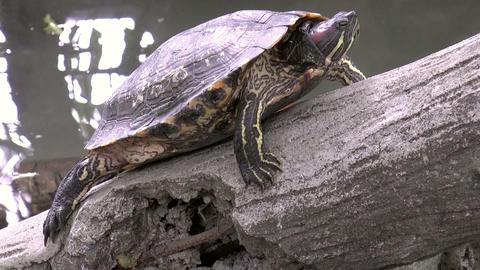 turtle on stone Stock Video Footage