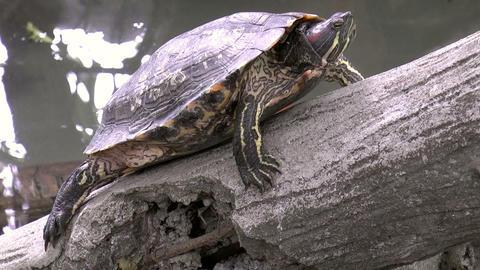 Turtle On Stone stock footage