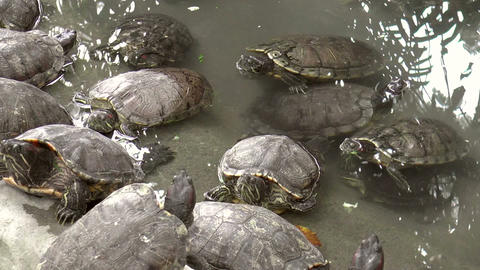 turtles on pond Footage
