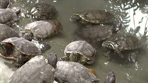 turtles on pond Stock Video Footage