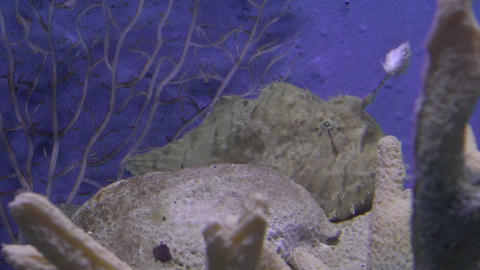 striated frogfish Stock Video Footage