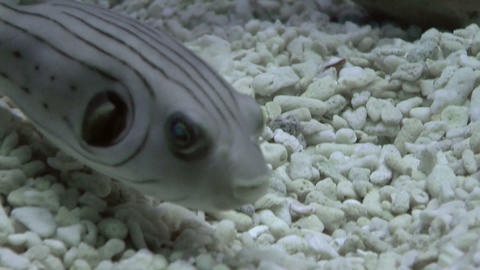 striped puffer Stock Video Footage