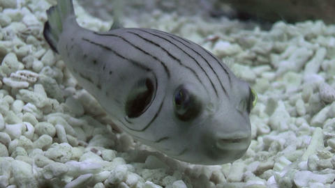 striped puffer Footage