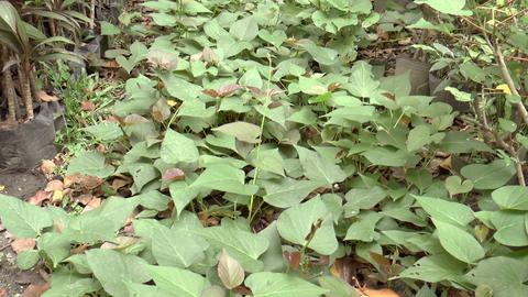 sweet potato leaves Stock Video Footage