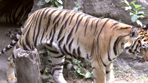 tiger at zoo Stock Video Footage