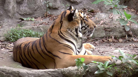 tiger resting side view Stock Video Footage