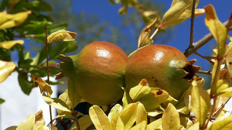 Pomegranate Fruits on the Branch Tree Footage