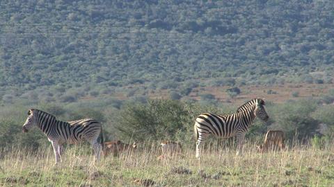 Zebras stands like bookshelf Stock Video Footage