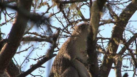 Monkey in tree Stock Video Footage