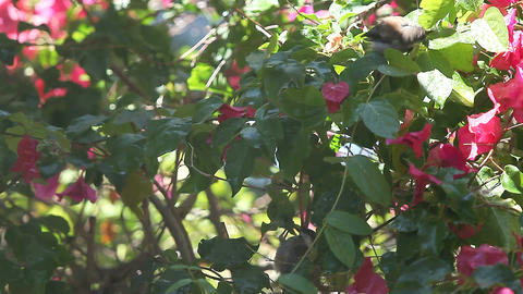 birds get a bath in the bougainvillea Footage