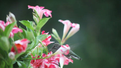 hummingbird in red and white flowers Stock Video Footage