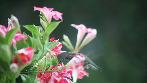 hummingbird in red and white flowers Footage
