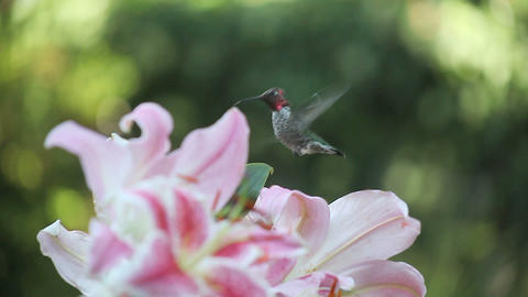 hummingbird in the lilies Stock Video Footage