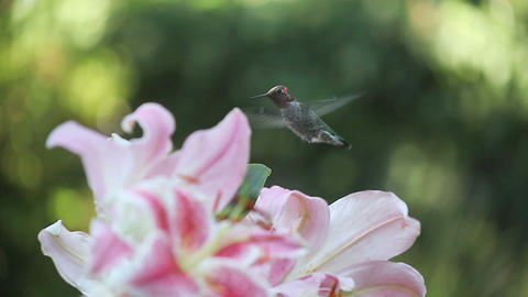 hummingbird in the lilies Footage