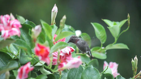 ruby throated hummingbird in red and white flowers Footage